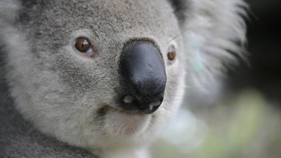 La Koala Valeria. Cuento adopción